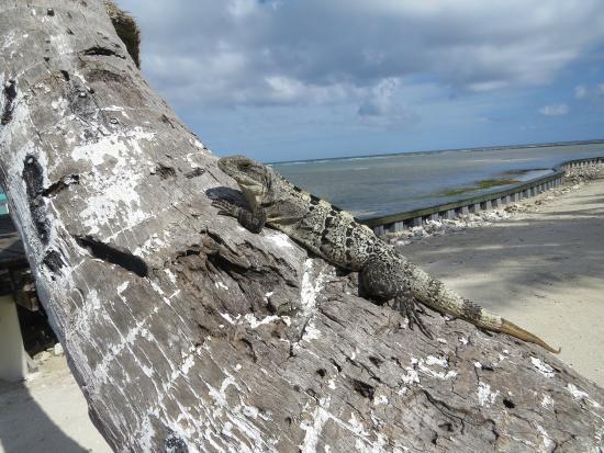 Turneffe Flats: Spiny-tailed Iguana
