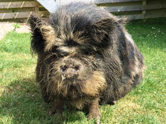 how to raise and train a pot belly pig
