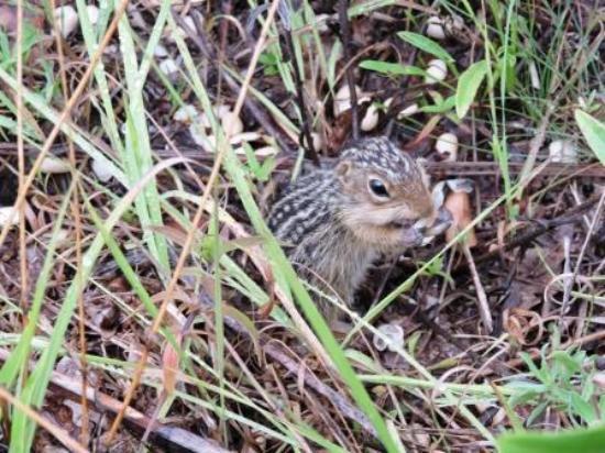 Springbrook, WI: ground squirrel