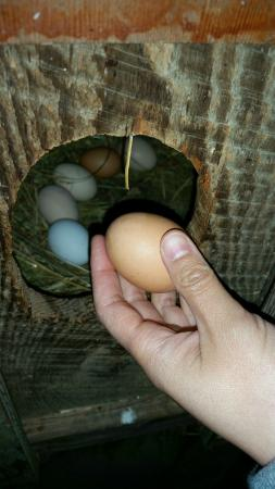 Pebble Cove Farm: Beautiful eggs