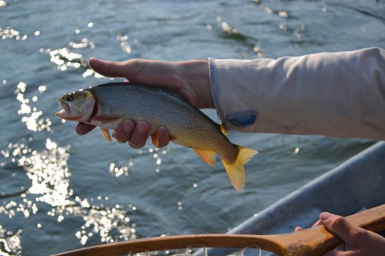 Jackson Hole Anglers : One of Twenty