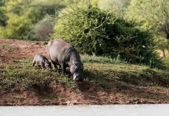 Заповедник Эринди, Намибия: Hippos