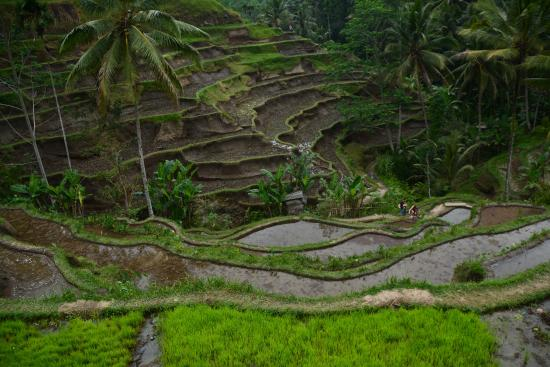 Terrazze Di Riso Picture Of Happy Bali Tours Ubud