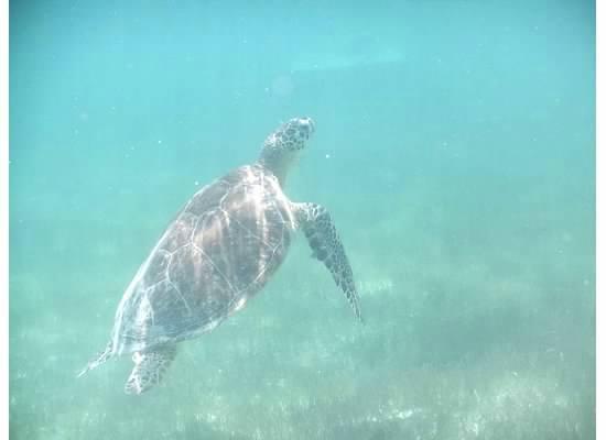 Akumal Bay Beach & Wellness Resort: Turtle