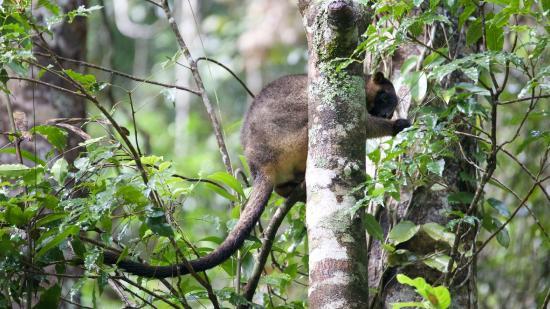 Rose Gums Wilderness Retreat: boomkangoeroe tijdens wandeling naar Dinner Falls