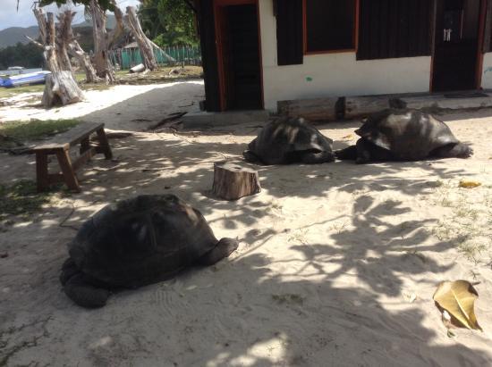 Praslin, Seychellen: turtles