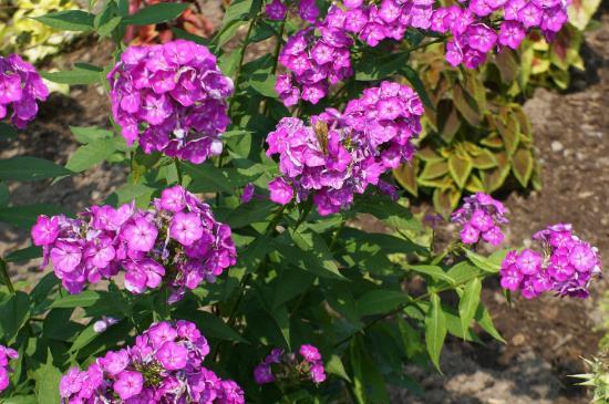 Amursk, روسيا: Цветы