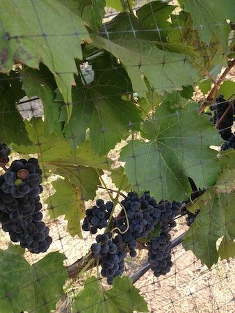 West Kelowna, Kanada: Grape Vines