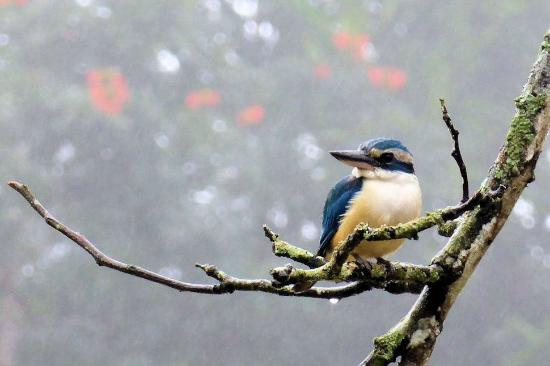 Colo I Suva Rainforest Eco Resort: Collared Kingfisher