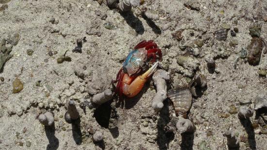 Praslin, Seychellen: coloratissimo granchio delle mangrovie