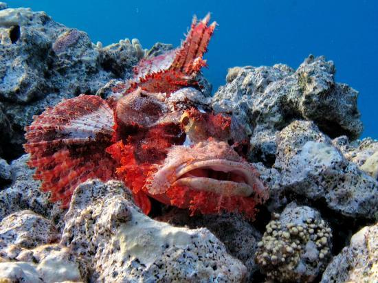 Sheraton Soma Bay Resort: Bearded scorpionfish