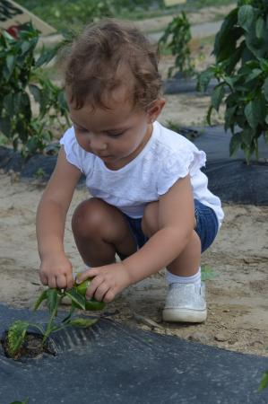 Barton Orchards: picking peppers