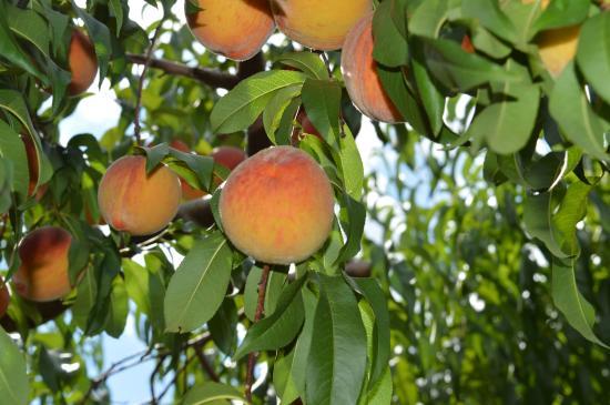 Barton Orchards: peaches