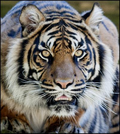 Dudley Zoo and Castle : DZG Tiger