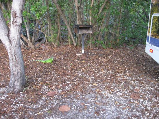 John Pennekamp Coral Reef State Park Campgrounds: Iguana at our site...