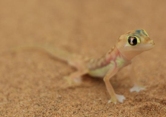 geco - Picture of Living Desert Adventures, Swakopmund - TripAdvisor