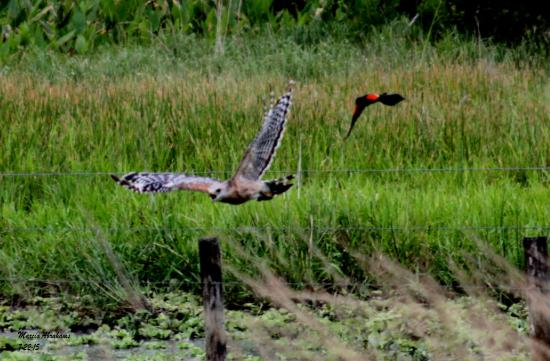 Clewiston, FL: Red-winged blackbird chasing a red-shouldered hawk at Dinner Island  Ranch Wildlife Management A
