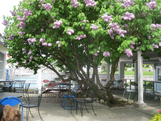 "J L Beanery: Beautiful lilac ""tree"" shades outside seating area."