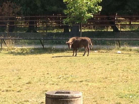 Bilde fra European Bison Reservation