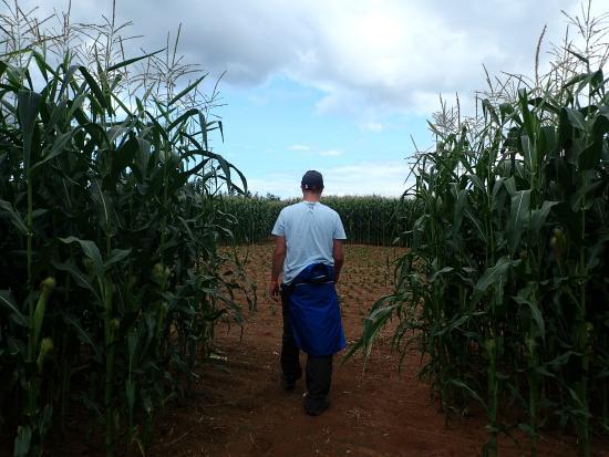 The Chuckwagon Farm Market & Belfast Corn Maze: Walking through the corn maze