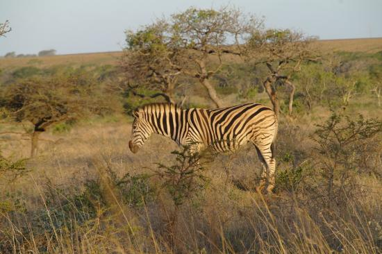 Zululand Safari Lodge: Ubizane wild life - hotel is in middle of the park