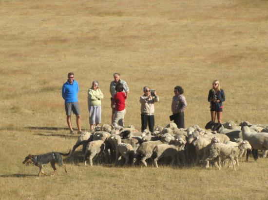 Dunstan Downs High Country Sheep Station: Working dog display