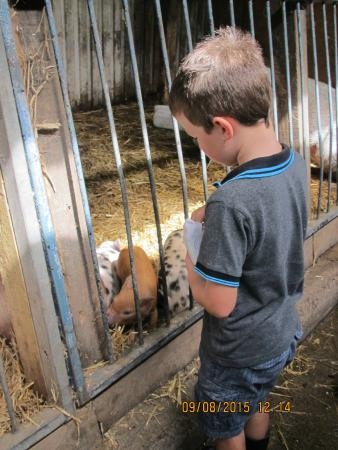 Bolton, UK: Feeding the piglets
