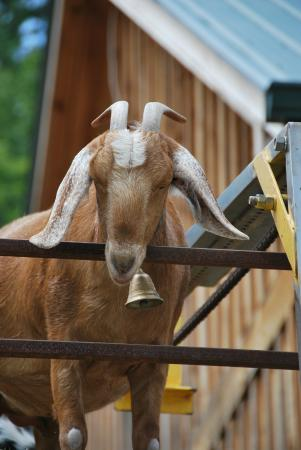 Goats on the Roof: Goat on the roof