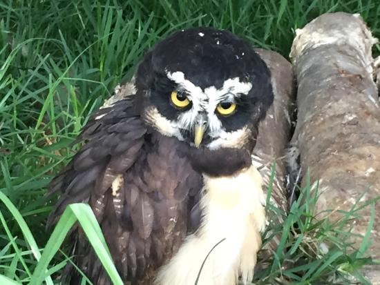 Toucan Rescue Ranch: Spectacled Owl