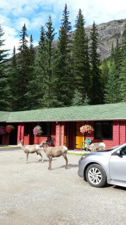 Miette Hot Springs Resort: Friends at our doorstep
