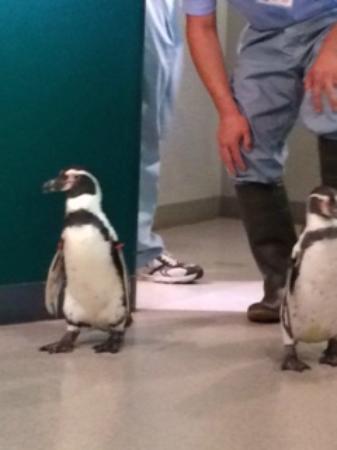 Matsuno-cho, Japan: ペンギンのお散歩