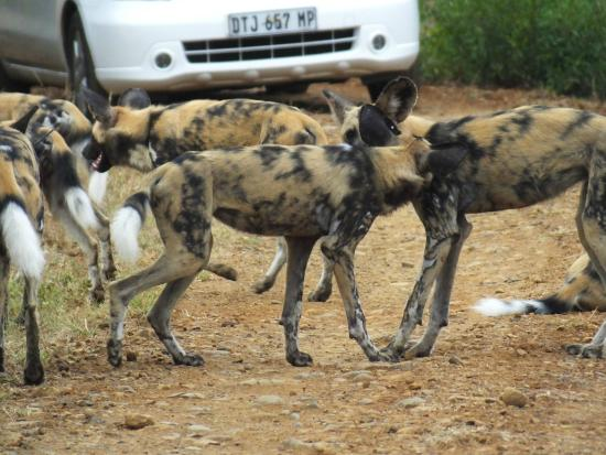Mkuze, Sudáfrica: Part of a Pack of Wild Dogs