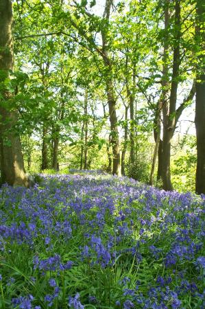 Lancashire, UK: Bluebell Wood