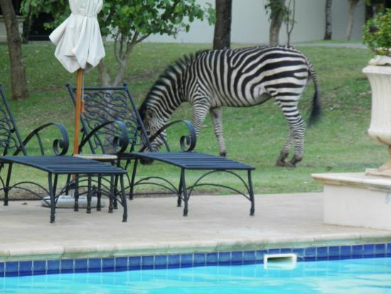 У бассейна часто пасутся зебры