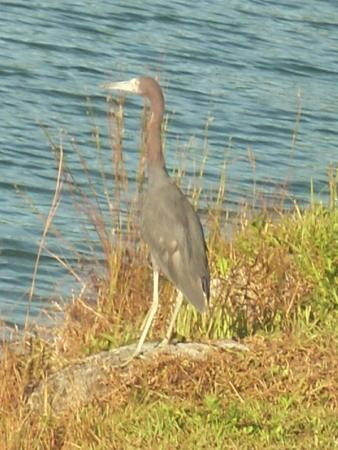 Palmetto Bay, ฟลอริด้า: Little Blue Heron