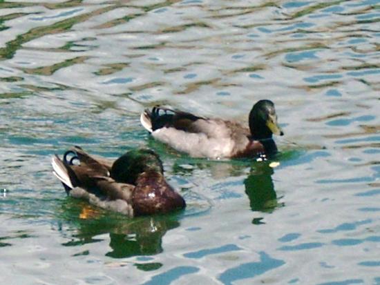 Bill Sadowski Park: Mallard Ducks