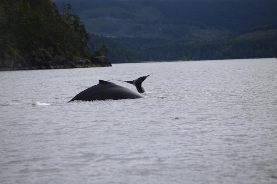 Gray Whale and Calf in Barkley Sound