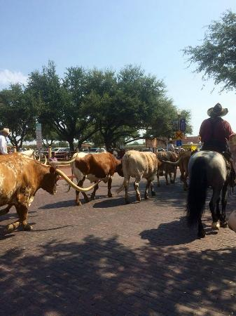 Country Inn & Suites By Carlson, Fort Worth: La conduite de troupeau au stockyard