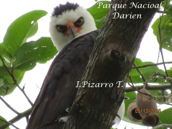 Darien Province, Panama: Black and white Hawk Eagle