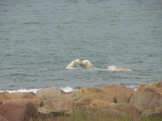 Seal River Heritage Lodge : Polar bears in the water