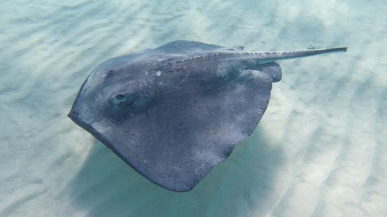 Deep stingray picture of slackem fishing charters for Deep sea fishing grand cayman