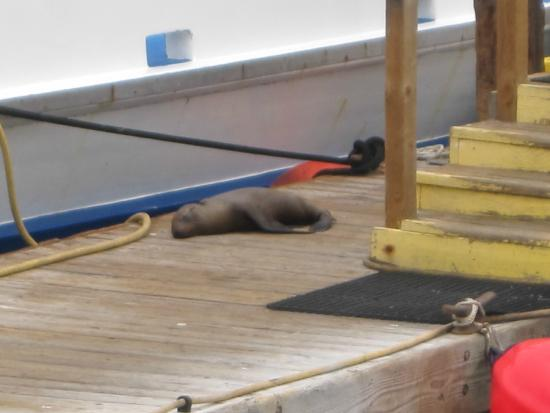 Dana Point, Kaliforniya: A seal on the dock
