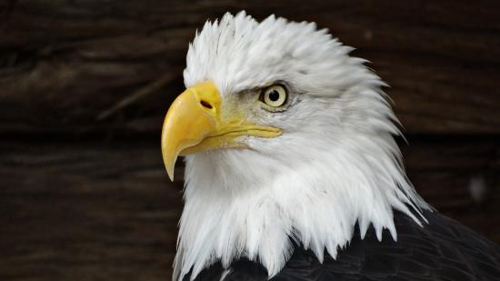 NEW Zoo & Adventure Park: Beautiful Bald Eagle!