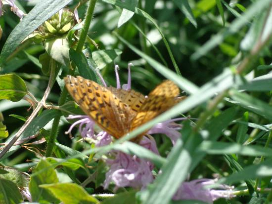 Housatonic, MA: Butterfly in the Butterfly Habitat