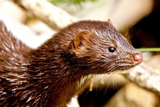The Beaver Boardwalk: Mink