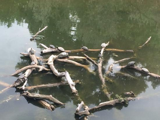 Rio Grande Nature Center State Park: Turtles at the pond from the viewing are by the visitor center