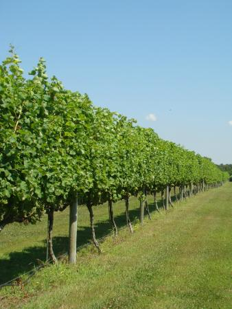 vineyard picture of willow creek winery cape may. Black Bedroom Furniture Sets. Home Design Ideas