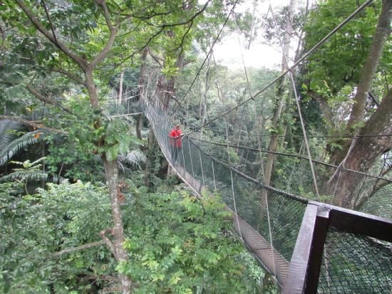 FRIM Canopy Walk The walkway & Forest Research Institute Malaysia - Picture of FRIM Canopy Walk ...