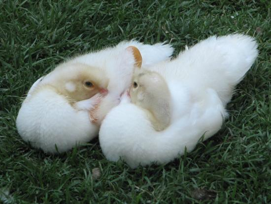Saint-Cyr-en-Talmondais, Francia: Un Amour de petits canards