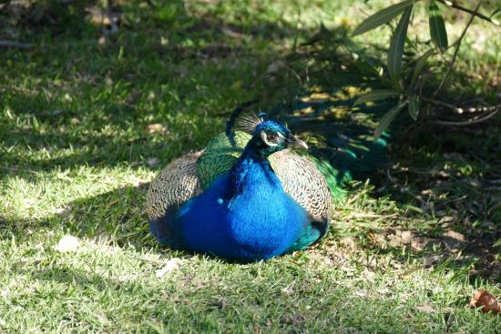 Peacock at the Areena Riverside Resort